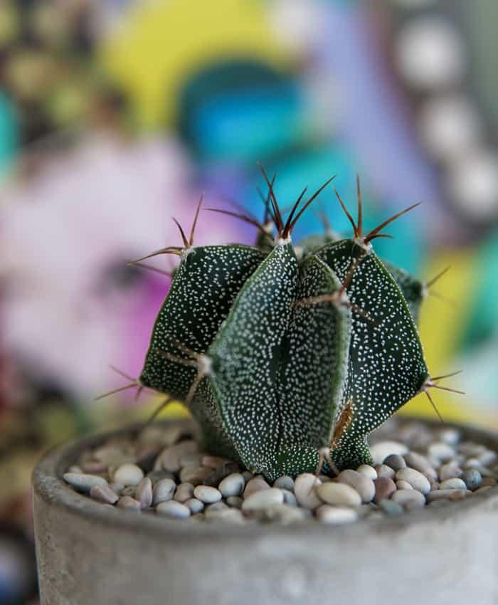 Astrophytum ornatum, Monk's Hood Cactus, Cactus Gifts Melbourne, Pulp Kaktus