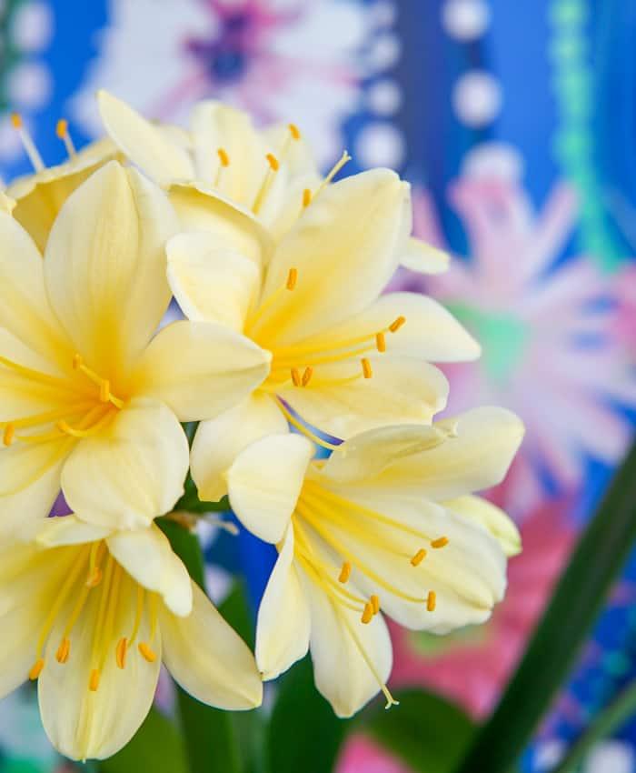 Clivia, clivia miniata, Pale Yellow Flowers, Pulp Kaktus