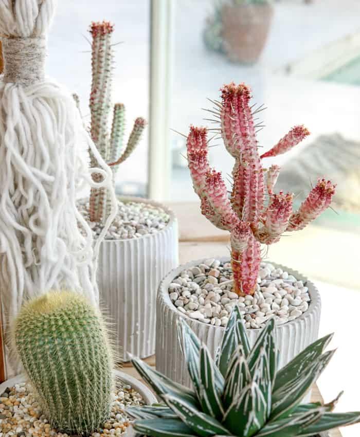 Corn Cob Cactus, Euphorbia mammillaris variegata, Plant Gifts, Pulp Kaktus