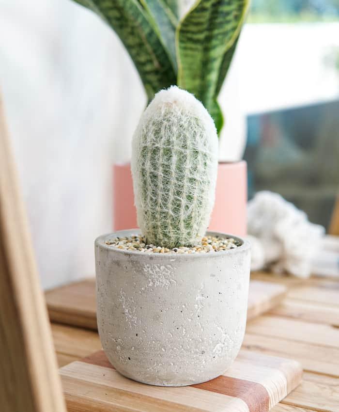 Espostoa, Old Lady Cactus, Cacti Gifts Melbourne, Pulp Kaktus