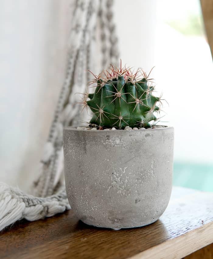 Ferocactus herrerae, Ferocactus, Melbourne Plant Gifts, Pulp Kaktus