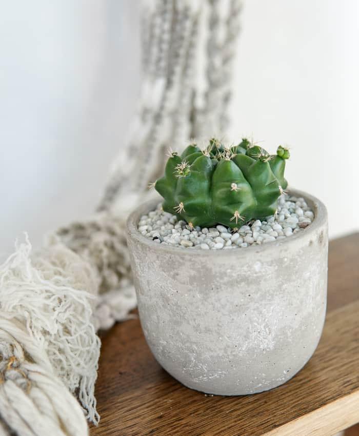 Gymnocalycium, Chin Cactus, Cement Planter, Melbourne Cacti Gifts, Pulp Kaktus