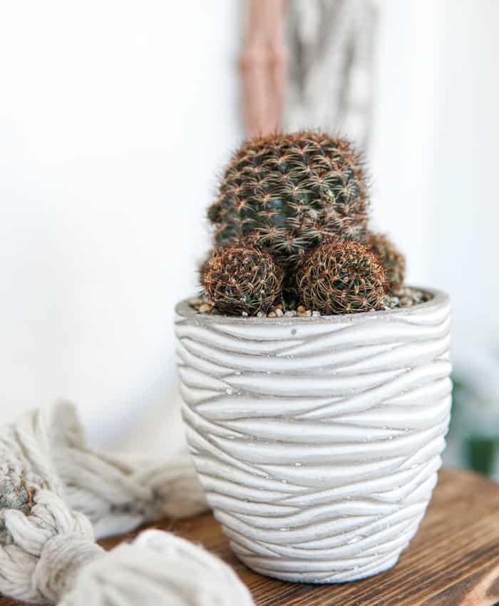 Lobivia arachnacantha, Hedgehog Cactus, Cacti Plant Gifts, Pulp Kaktus