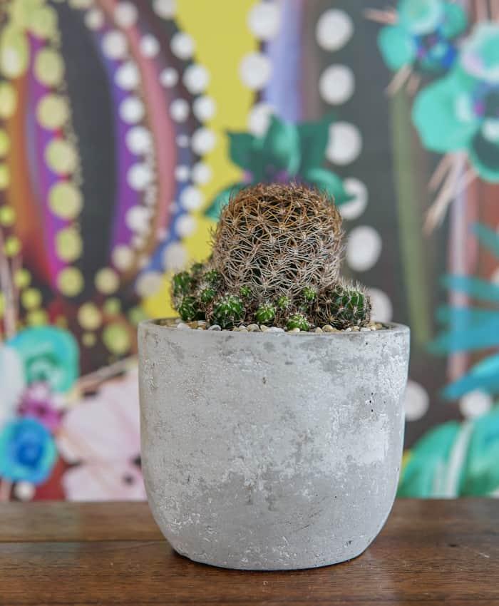lobivia schieliana, scorpio cactus, plant gifts, Pulp Kaktus