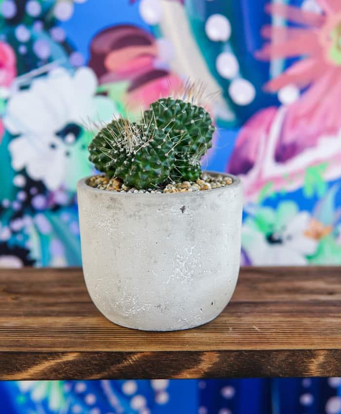 Mammillaria spinosissima, Mammillaria Pico, Clumping Cactus, Pulp Kaktus Plant Gifts