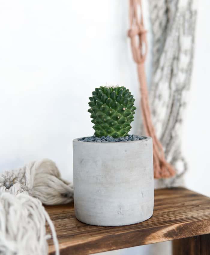 Mammillaria Toluca, Cacti Plant Gifts, Pulp KAKTUS