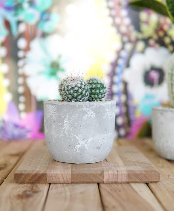 Bridal Ball, Mammillaria bombycina, Wedding Gifts, Pulp Kaktus