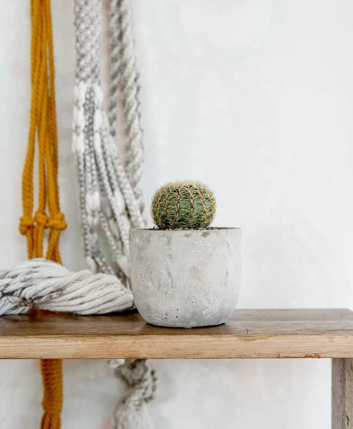 Oroya, Oroya borchesii, Globular Cacti, Pulp Kaktus