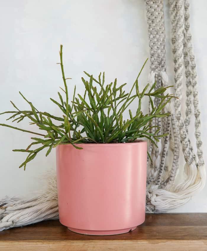 Rhipsalis ewaldiana, jungle cactus, trailing succulent, Pulp Kaktus, Jungle Plant Gifts