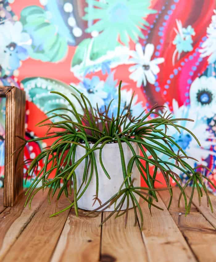 Rhipsalis, Red Coral Cactus, Jungle Cactus, Pulp Kaktus