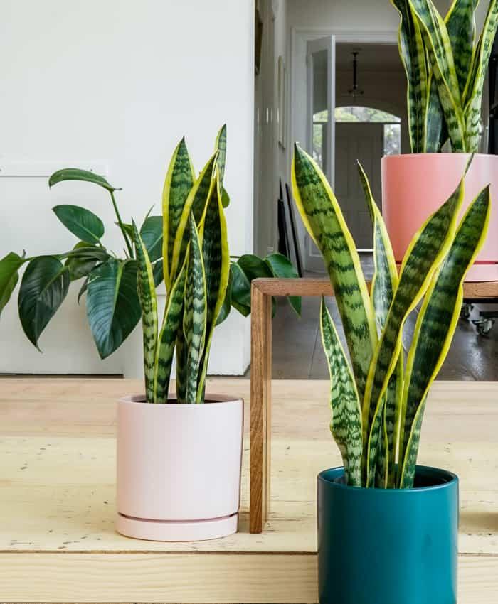 Sansevieria snake plant, Sansevieria trifasciata Laurentii, Pulp Kaktus