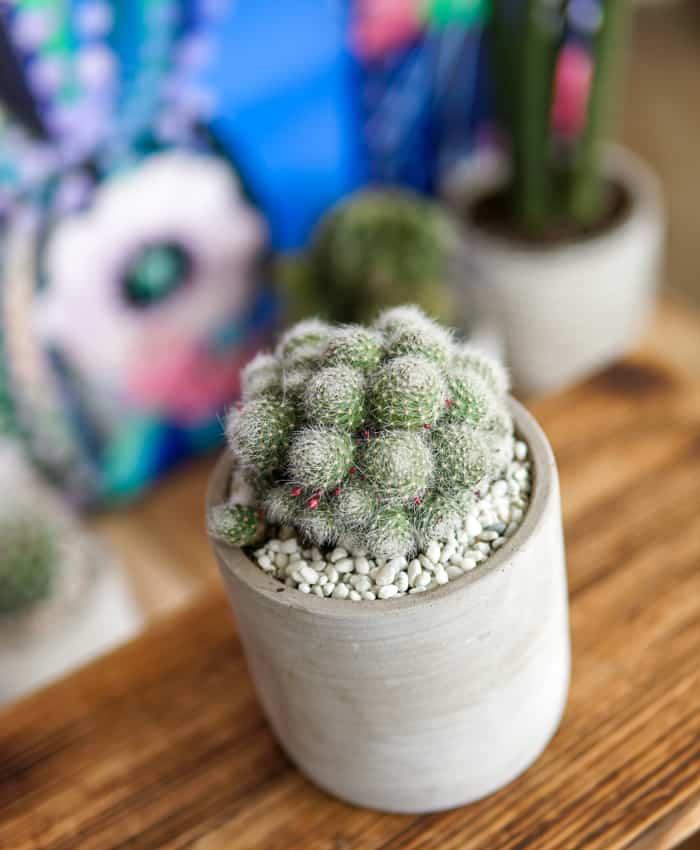Aylostera pulvinosa, Crown Cactus, Desert Cactus, Pulp Kaktus