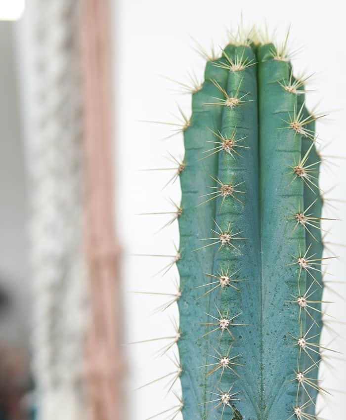Pilocereus, Blue Torch Cactus, Pilocereus azureus, Cacti Gifts, Pulp Kaktus