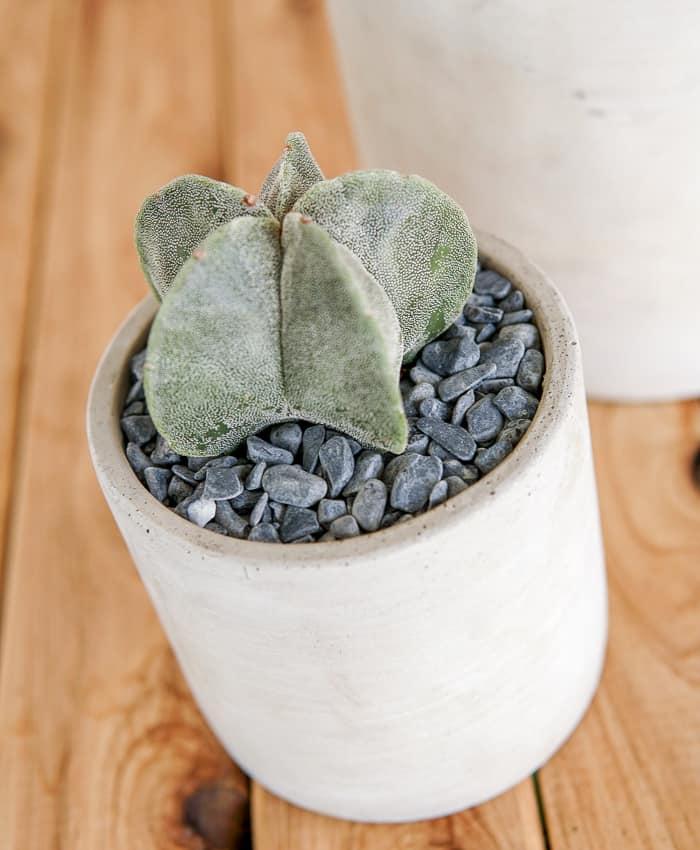 Bishop's Cap, Astrophytym myriostigma, Pulp Kaktus, Cacti Gifts Melbourne