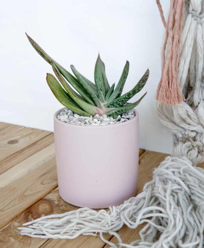 Gasteria, Succulent Plant Gifts, Pulp Kaktus, Melbourne