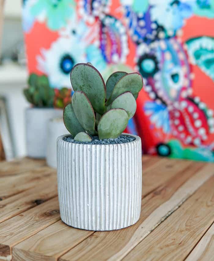 Silver Dollar Plant, Jade Plant, Crassula Arborescens, Pulp Kaktus Succulent Gifts