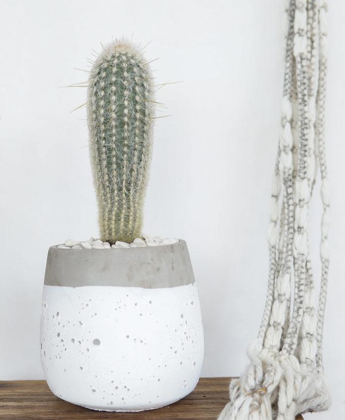 Espostoa Lanata, Advanced Cacti, Cacti Gifts, Pulp Kaktus
