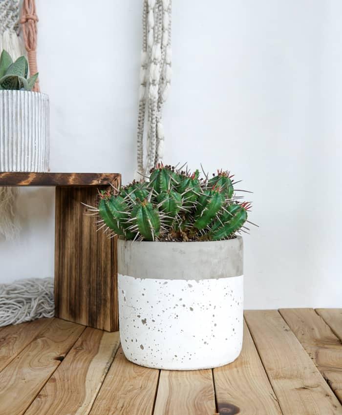 Euphorbia Ferox, Pin Cushion Euphorbia, Spiky Cactus, Pulp Kaktus.
