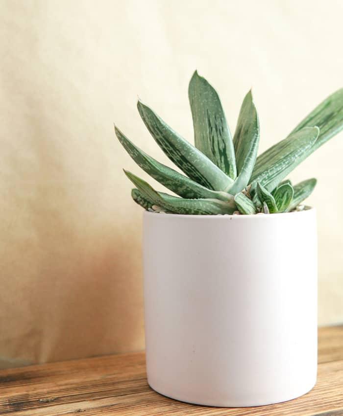 Gasteria sp., Succulent Plant Gifts, Pulp Kaktus, Melbourne