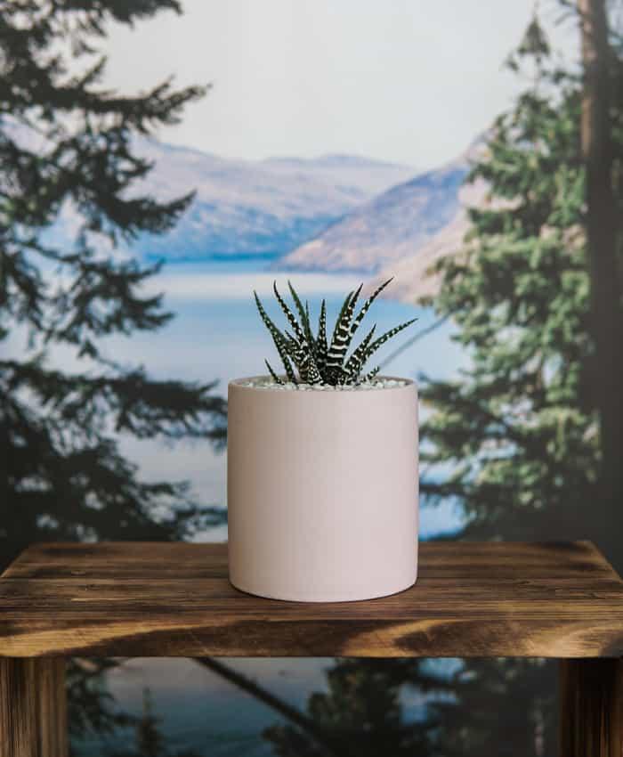 Haworthia, Ceramic Planter, Zebra Plant, Matte Black Planter, Concrete Planter. Plants Gifts by Pulp Kaktus