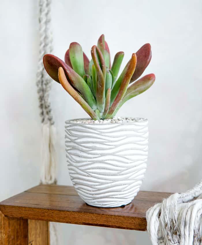 Kalanchoe luciae 'Lady Finger', Succulent Plant Gifts Melbourne, Pulp Kaktus