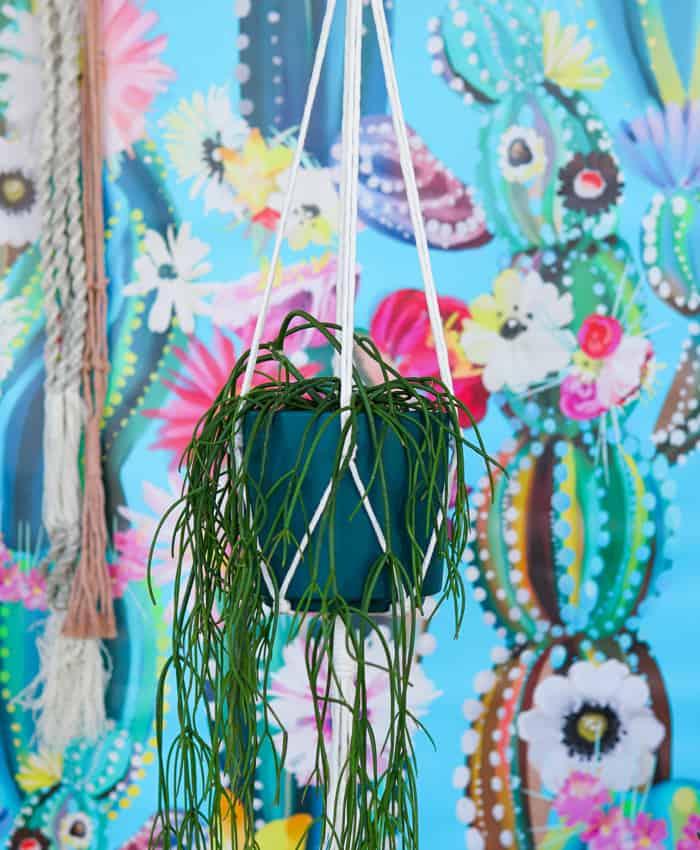 Rhipsalis cassutha, Mistletoe Cactus, Trailing Cactus