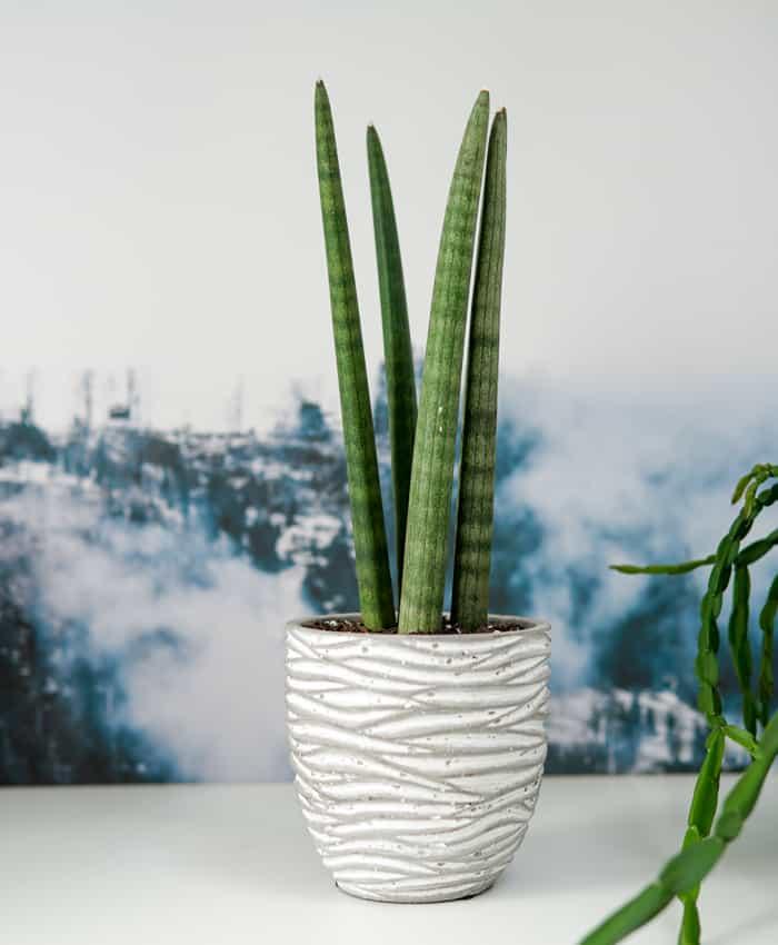 Sansevieria Twister, Sansevieria cylindrica, Pulp Kaktus Plant Gifts
