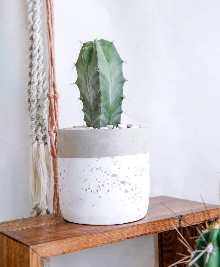Grey Organ Pipe Cactus (Stenocereus pruinosa), Grey Ghost Cactus, Columnar Cactus