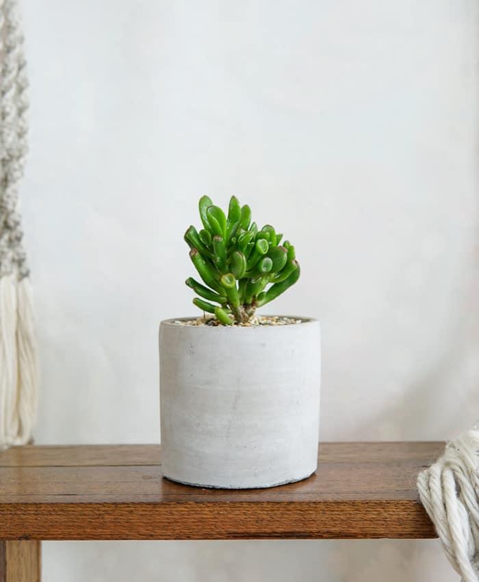 Crassula Gollum, Jade Gollum, Jade Plant, Money Tree, Pulp Kaktus