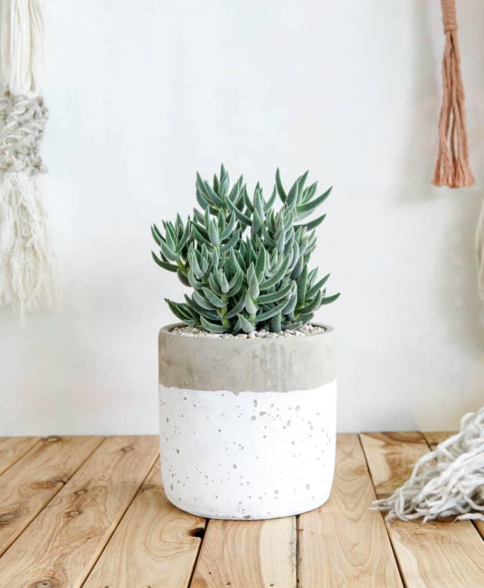 Crassula 'Surprise Party', Crassula, Pulp Kaktus, Succulent Gifts