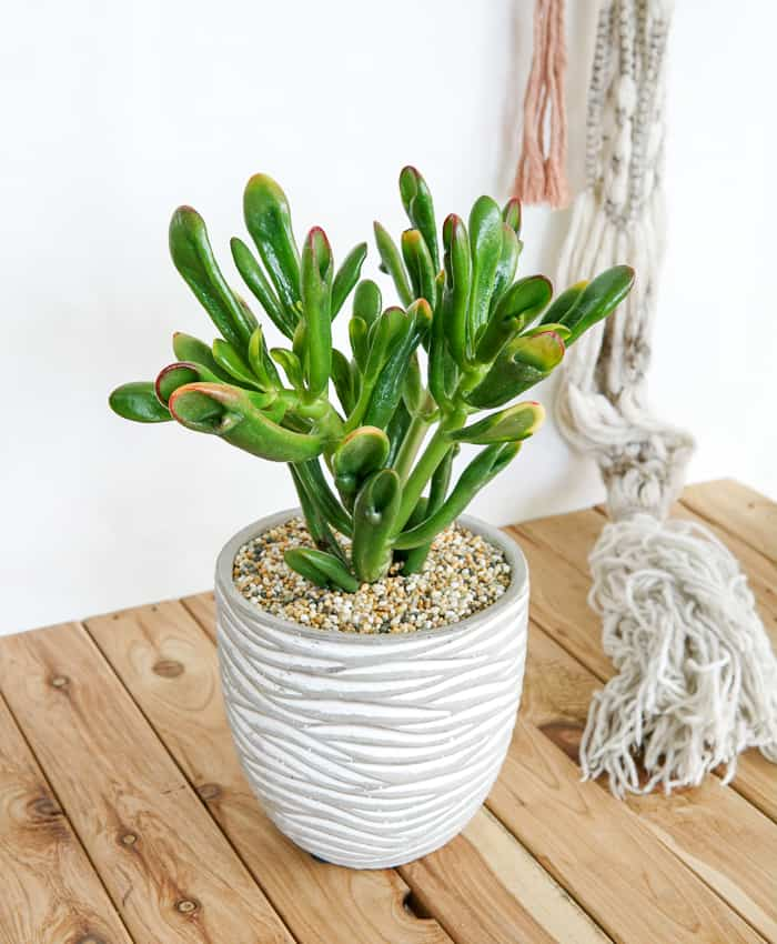 Crassula ovata, Crassula Red Coral, Cement Planter, Melbourne Plant Gifts, Pulp Kaktus