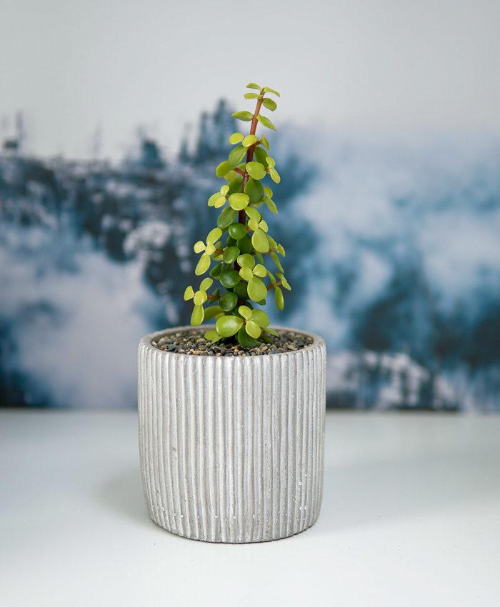 Portulacaria, Portulacaria afra, Jade Plant Golden, Plant Gifts, Pulp Kaktus