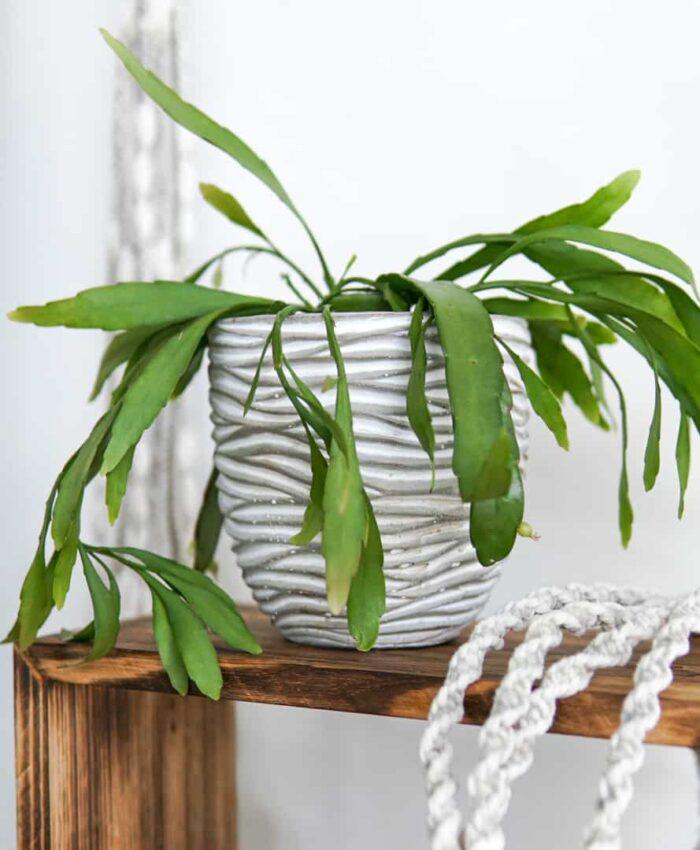 Rhipsalis ramulosa, jungle cacti, Pulp Kaktus, Plant Gifts Melbourne