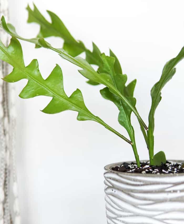 Epiphyllum anguliger, Zig Zag Cactus, Fish Bone Cactus, Pulp Kaktus Plant Gifts
