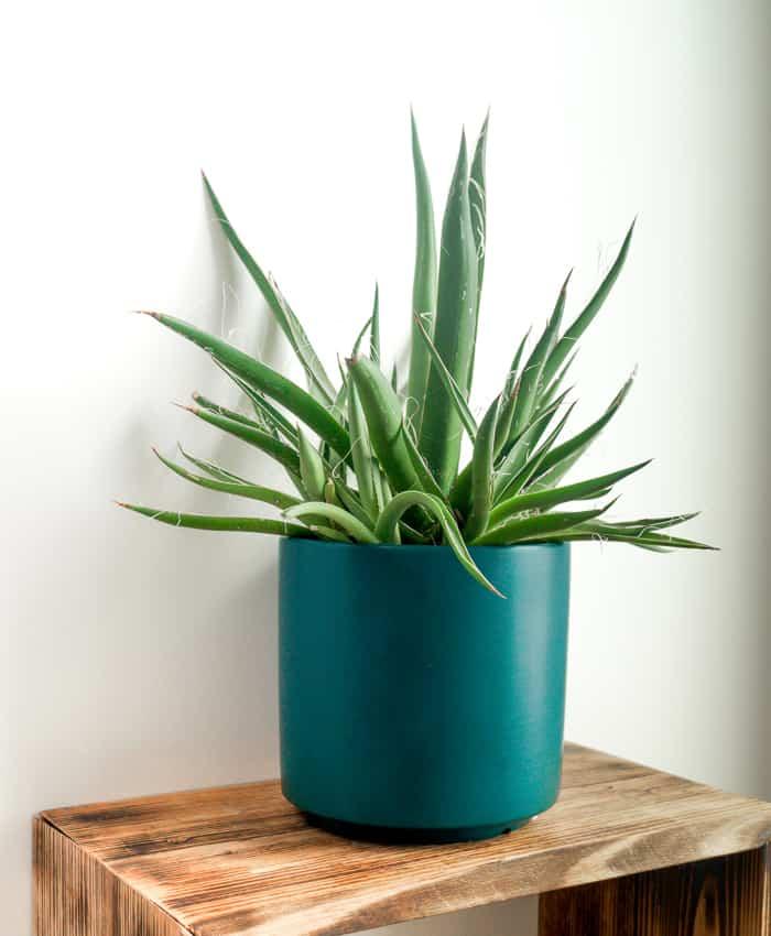 Agave filifera, Architectural Plants, Outdoor Plant, Pulp Kaktus, Plant Gifts Melbourne