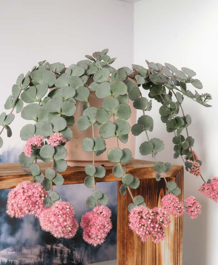 Sedum sieboldii, hanging planter, trailing planter, pulp kaktus succulents