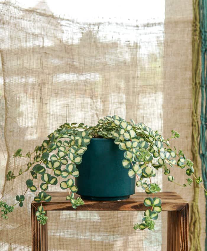 Sedum sieboldii variegated, Hylotelephium sieboldii variegated, Autumn stonecrop