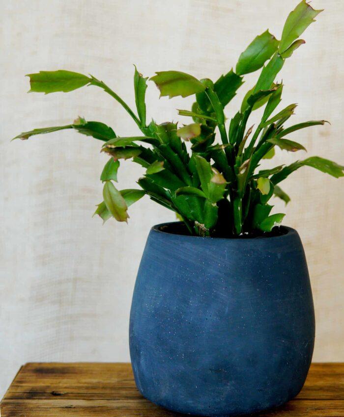 Zygocactus, Autumn Flowering, Jungle Cactus