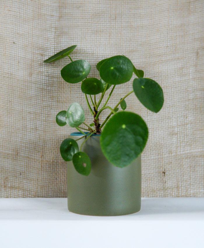 Pilea Plant, Chinese Money Plant, Plant Gifts, Pulp kaktus