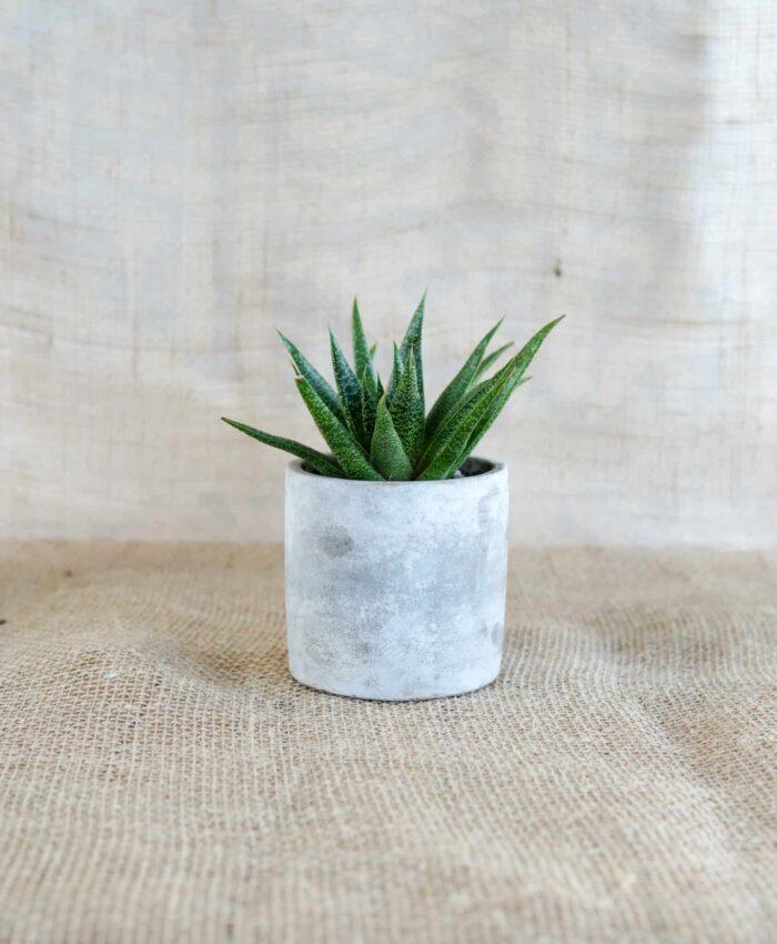 Gasteraloe, Indoor Plant, Shade Plant, Pulp Kaktus, Plant Gifts Melbourne