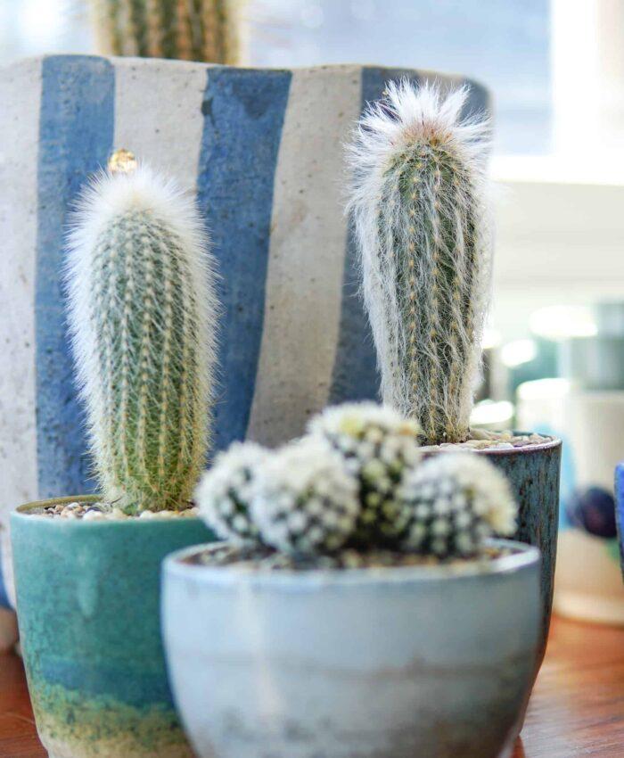 Espostoa lanata, Peruvian Old Man Cactus, Father's Day Cactus, Plant Gifts Melbourne