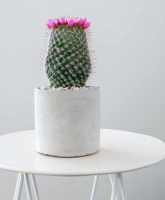 Mammillaria zeilmaniana, Pin Cushion Cactus, Cacti Plant Gifts Melbourne, Pulp Kaktus