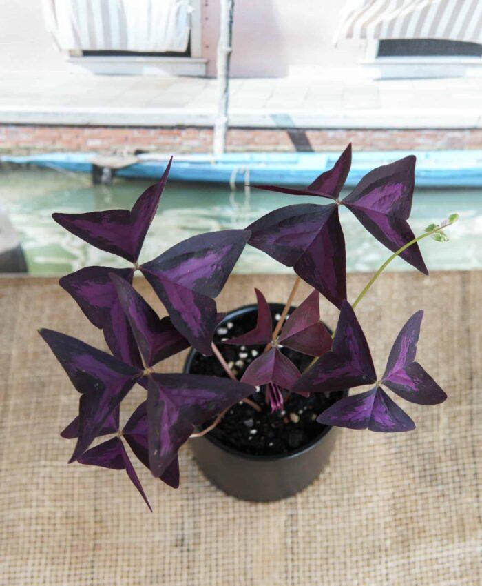 Oxalis triangularis, Purple Shamrock, Ceramic Planter