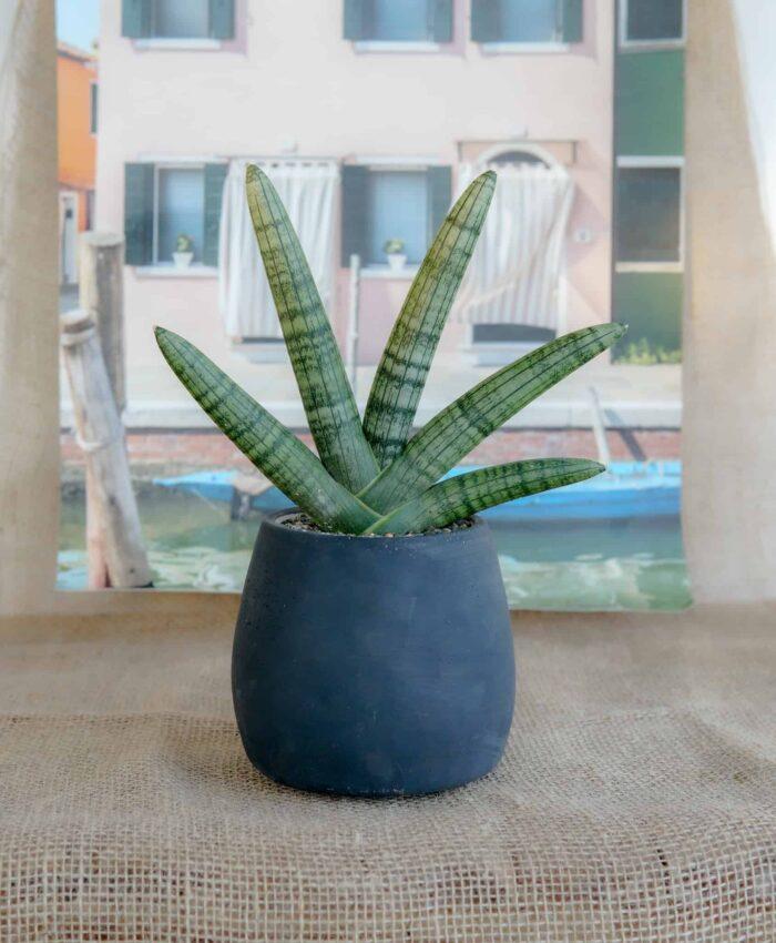 Sansevieria boncel, Snake Plant, Starfish Snake Plant, Fan Plant