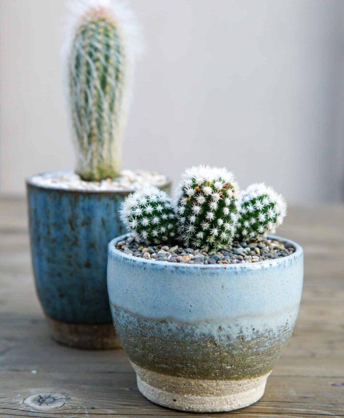 Arizona Snowcap, Mammillaria gracilis, cacti plant gifts, Pulp Kaktus