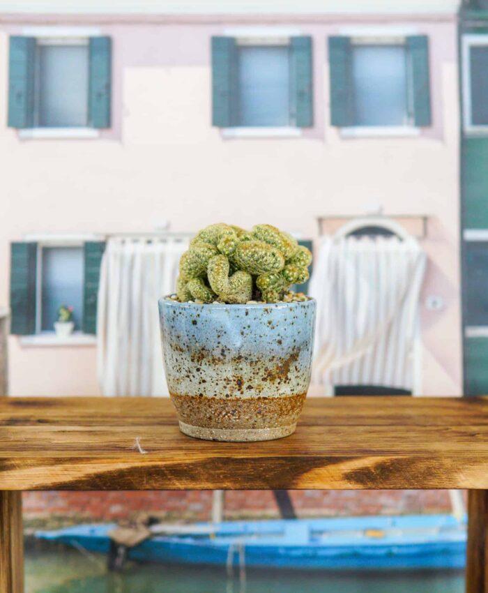 Brain Cactus, Student Gift, Graduation Gift, Cacti Gifts, Mammillaria elongata cristata, Pulp Kaktus